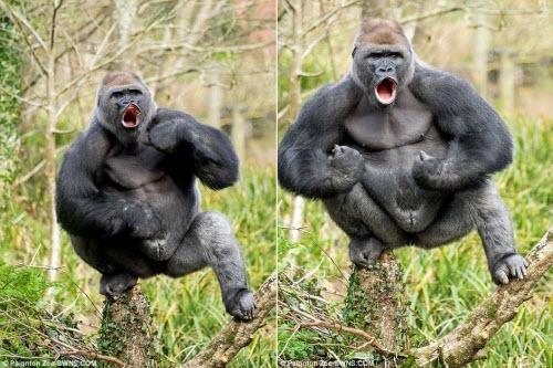 Hài hước khỉ đột khoe cơ bắp lực lưỡng dằn mặt người - 1