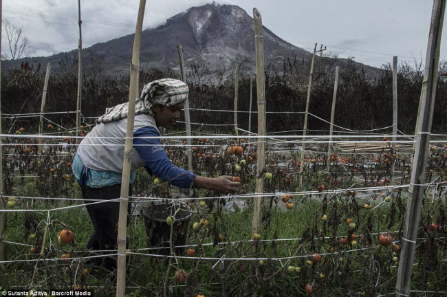 Bất chấp nguy hiểm, một số người dân vẫn cố gắng trồng trọt ngay cạnh sườn núi lửa Sinabung vì khu vực này đất đai rất màu mỡ.