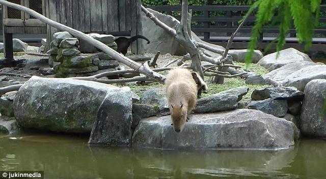 Khỉ tinh nghịch đẩy chuột lang khổng lồ rơi tòm xuống ao - 1
