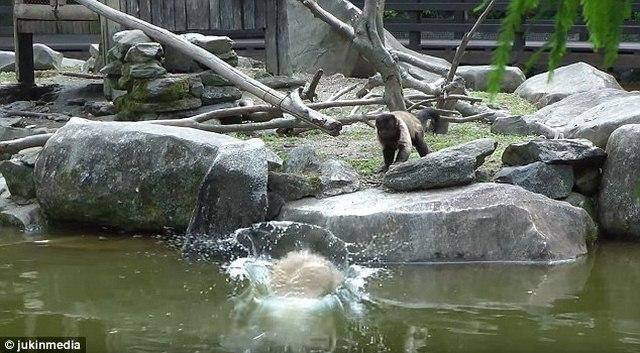 Khỉ tinh nghịch đẩy chuột lang khổng lồ rơi tòm xuống ao - 2
