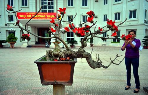 Ngắm cây hoa gạo mini bung nở tuyệt đẹp ở Hà Nội - 1