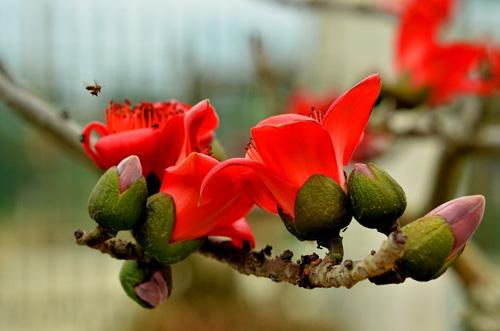 Ngắm cây hoa gạo mini bung nở tuyệt đẹp ở Hà Nội - 3