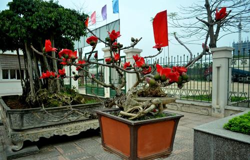 Ngắm cây hoa gạo mini bung nở tuyệt đẹp ở Hà Nội - 4