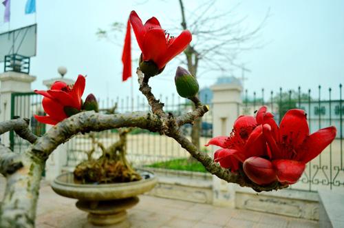 Ngắm cây hoa gạo mini bung nở tuyệt đẹp ở Hà Nội - 10