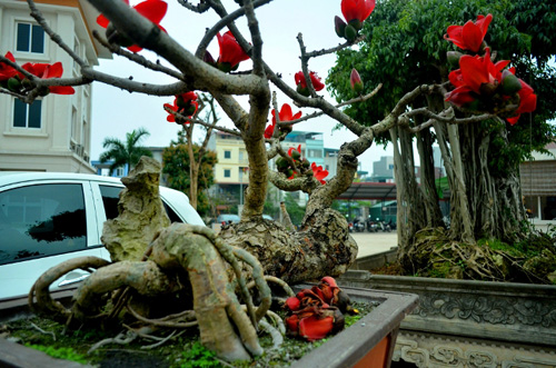 Ngắm cây hoa gạo mini bung nở tuyệt đẹp ở Hà Nội - 5