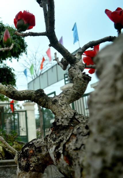 Ngắm cây hoa gạo mini bung nở tuyệt đẹp ở Hà Nội - 6
