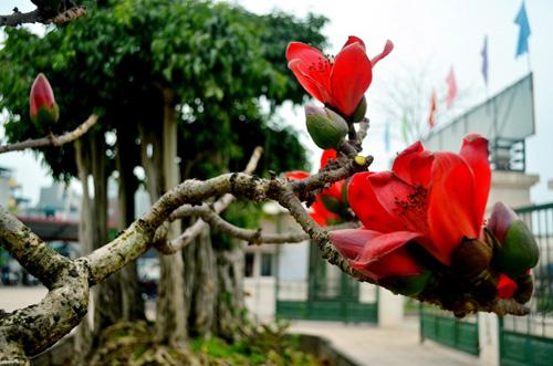 Ngắm cây hoa gạo mini bung nở tuyệt đẹp ở Hà Nội - 7