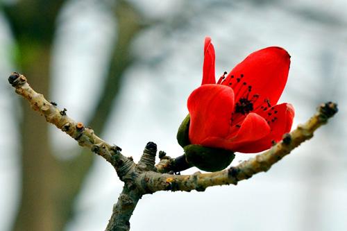 Ngắm cây hoa gạo mini bung nở tuyệt đẹp ở Hà Nội - 8