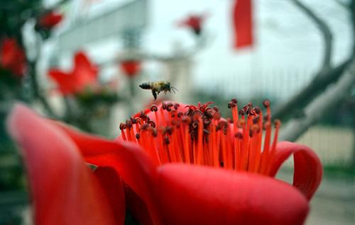 Ngắm cây hoa gạo mini bung nở tuyệt đẹp ở Hà Nội - 9