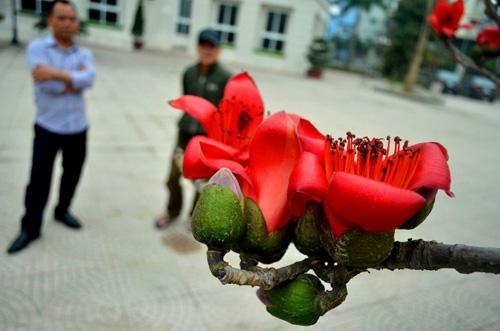 Ngắm cây hoa gạo mini bung nở tuyệt đẹp ở Hà Nội - 11