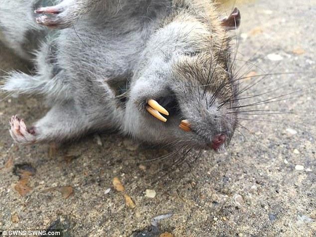 Anh: Bắt được chuột khổng lồ to như trẻ sơ sinh - 2