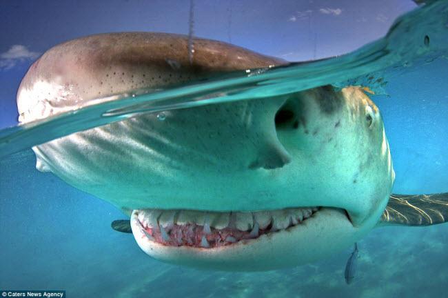 Loài động vật mà bạn có thể  không muốn nhìn thấy chúng cười là cá mập. Con cá mập chanh này cười để lộ hai hàm răng đáng sợ.
