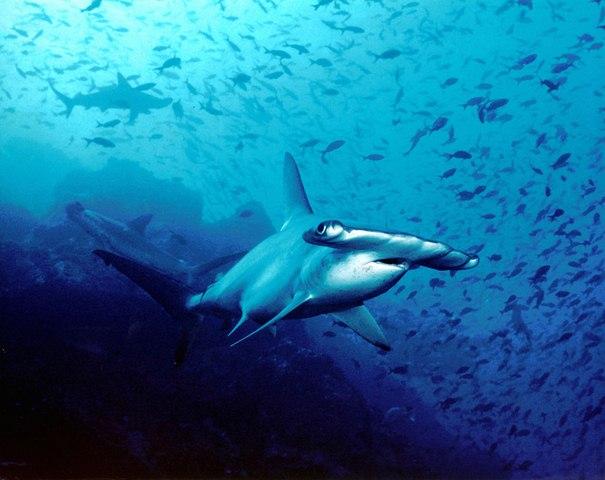 TQ: Hàng trăm cá mập đầu búa chất đống ở chợ, bán rẻ bèo - 6