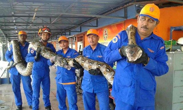 Phát hiện mãng xà khổng lồ dài nhất thế giới ở Malaysia - 1