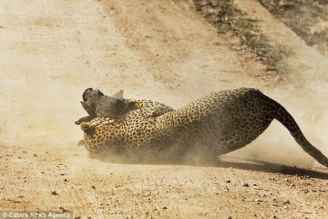 Lợn rừng liều mạng tấn công báo đốm dữ dội để cứu con - 1