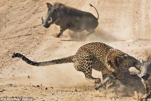 Lợn rừng liều mạng tấn công báo đốm dữ dội để cứu con - 2