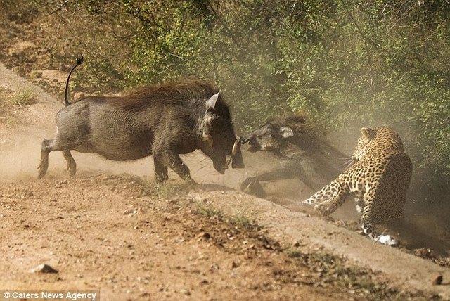 Lợn rừng liều mạng tấn công báo đốm dữ dội để cứu con - 3