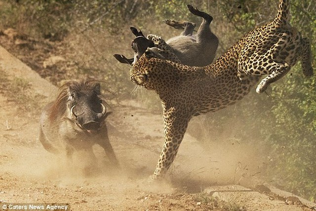 Lợn rừng liều mạng tấn công báo đốm dữ dội để cứu con - 4