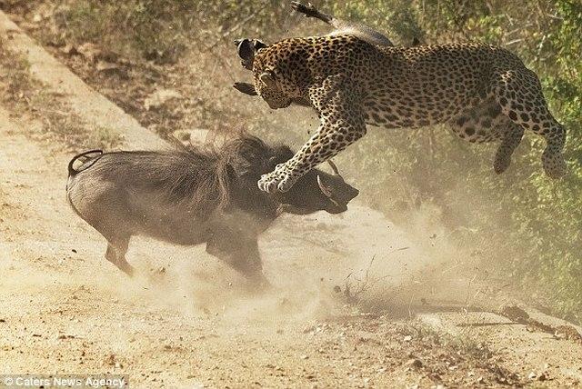 Lợn rừng liều mạng tấn công báo đốm dữ dội để cứu con - 5