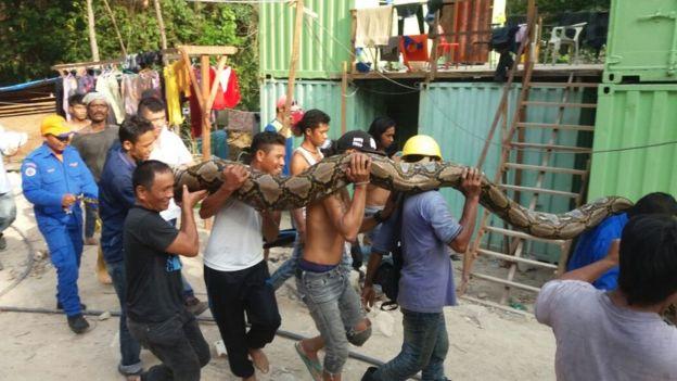 Mãng xà dài nhất thế giới chết sau 3 ngày bị bắt - 3