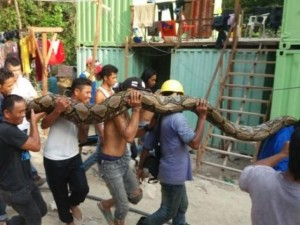 Mãng xà dài nhất thế giới chết sau 3 ngày bị bắt