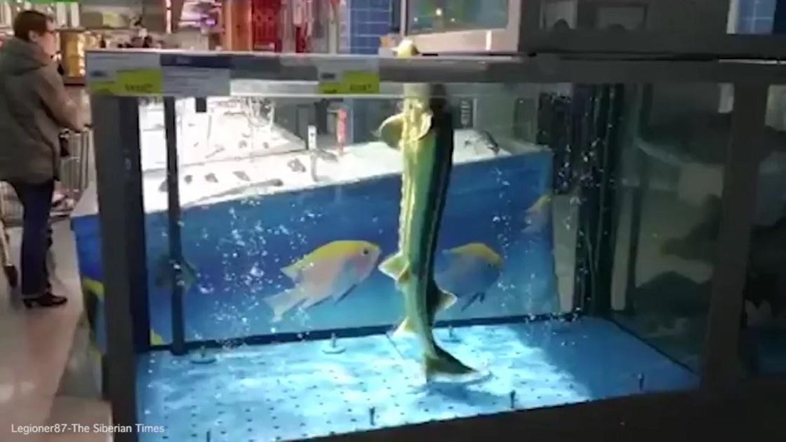 """Video: Cá """"đứng"""" thẳng như người, nhảy nhót theo nhạc - 1"""