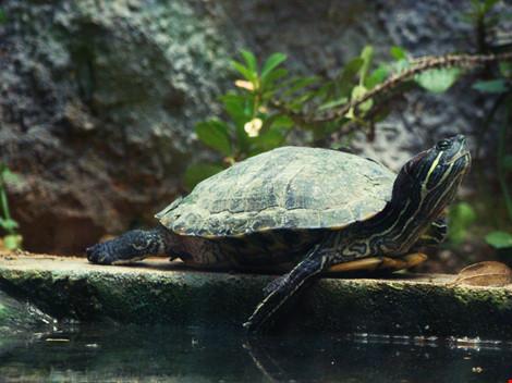 Giấu 51 con rùa trong quần, lĩnh án tù 5 năm - 1