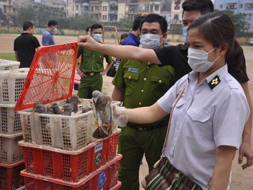 Gần 4.000 con chim bồ câu Trung Quốc tuồn về Hà Nội - 1