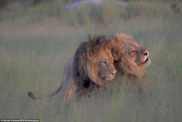 """Sư tử đực mê mải """"mi"""" nhau, phớt lờ dàn sư tử cái - 1"""