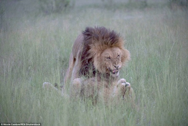 """Sư tử đực mê mải """"mi"""" nhau, phớt lờ dàn sư tử cái - 3"""