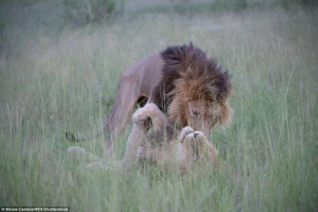 """Sư tử đực mê mải """"mi"""" nhau, phớt lờ dàn sư tử cái - 4"""