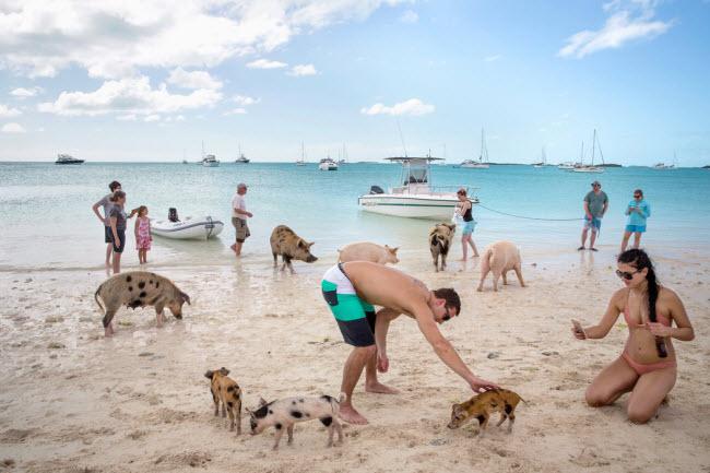 Đảo Big Major Cay là thiên đường dành cho những chú lợn vì chúng có thể tự do chơi đùa bơi lội cùng với du khách.