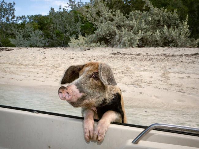 Phóng viên ảnh Robin Schwartz của tờ New York Times đã có cơ hội tới đảo Big Major Cay và ghi lại hình ảnh về những chú lợn đáng yêu tại nơi đây.
