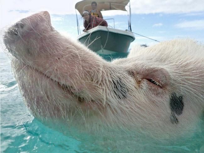 Schwartz và thành viên cùng đoàn cố gắng tiếp cận một con lợn đang bơi trên biển. Cô cho biết có nhiều giả thuyết khác nhau về sự xuất hiện của chúng trên đảo Big Major Cay.