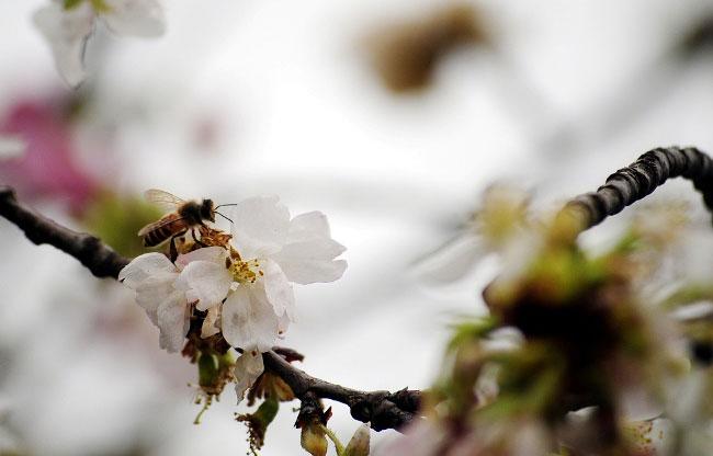 Ảnh: HN nắng nóng, hoa anh đào héo rũ ngày ra mắt - 12