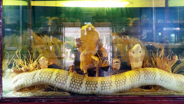 """Con hổ mang chúa """"vô địch"""" ở trại rắn lớn nhất Việt Nam - 1"""