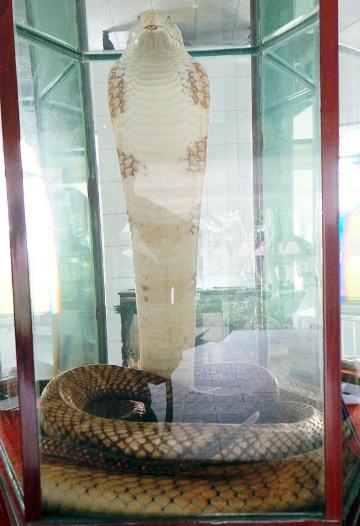 """Con hổ mang chúa """"vô địch"""" ở trại rắn lớn nhất Việt Nam - 3"""