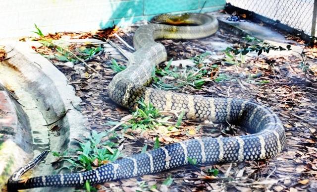 """Con hổ mang chúa """"vô địch"""" ở trại rắn lớn nhất Việt Nam - 7"""