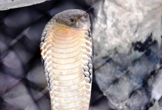 """Con hổ mang chúa """"vô địch"""" ở trại rắn lớn nhất Việt Nam - 8"""
