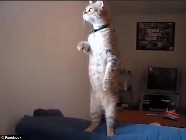 Mèo đứng thẳng như người nhìn xa xăm ra ngoài cửa sổ - 1