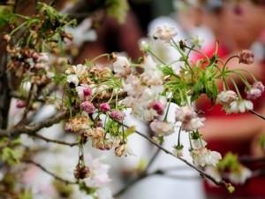 Tin tức trong ngày - Ảnh: HN nắng nóng, hoa anh đào héo rũ ngày ra mắt