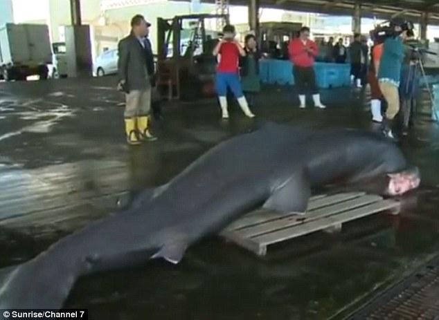Bắt được cá mập miệng rộng khổng lồ cực hiếm ở Nhật Bản - 2