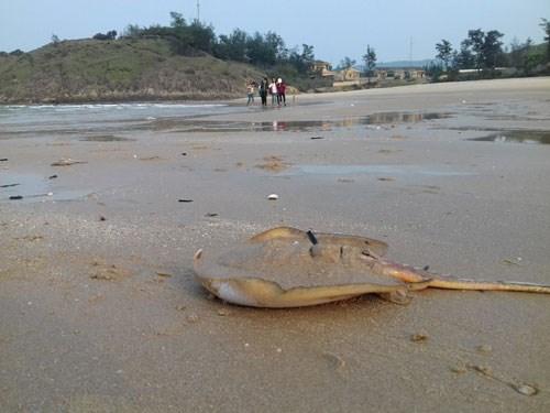 Ngư dân đưa thuyền lên bờ vì cá biển chết hàng loạt - 2