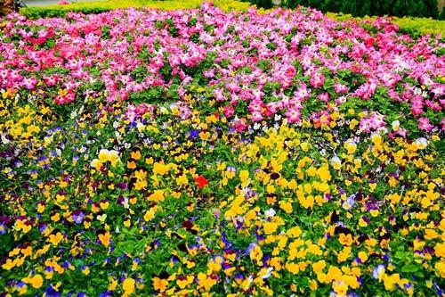 Bà Nà bốn mùa rực rỡ sắc hoa - 5
