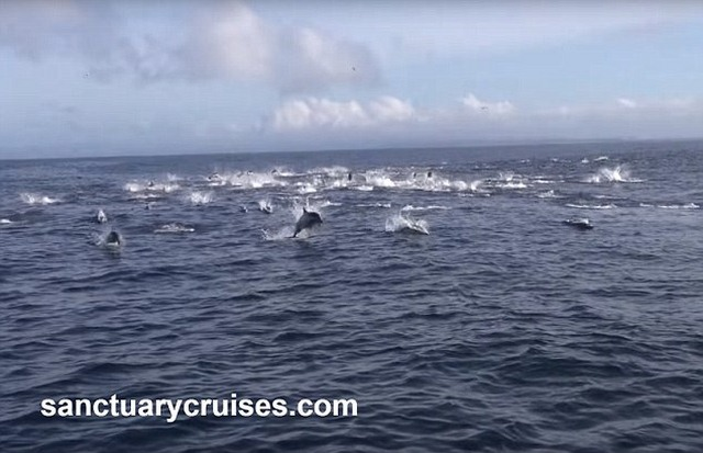 8 cá voi sát thủ truy sát nghìn cá heo - 2
