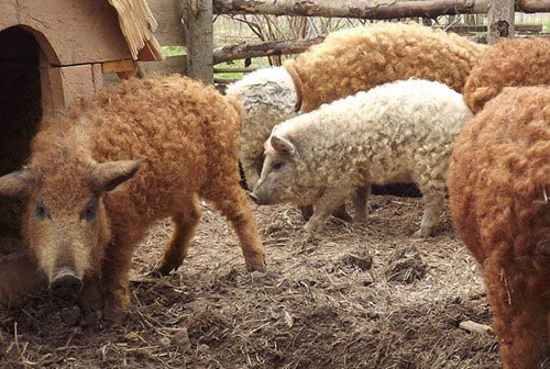 Lạ kỳ loài lợn mọc lông như cừu, biết chơi đùa như chó - 7