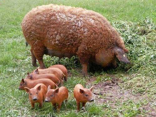 Lạ kỳ loài lợn mọc lông như cừu, biết chơi đùa như chó - 4