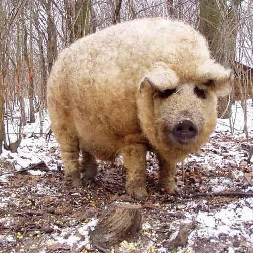 Lạ kỳ loài lợn mọc lông như cừu, biết chơi đùa như chó - 3