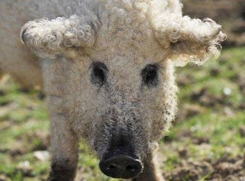 Lạ kỳ loài lợn mọc lông như cừu, biết chơi đùa như chó - 8