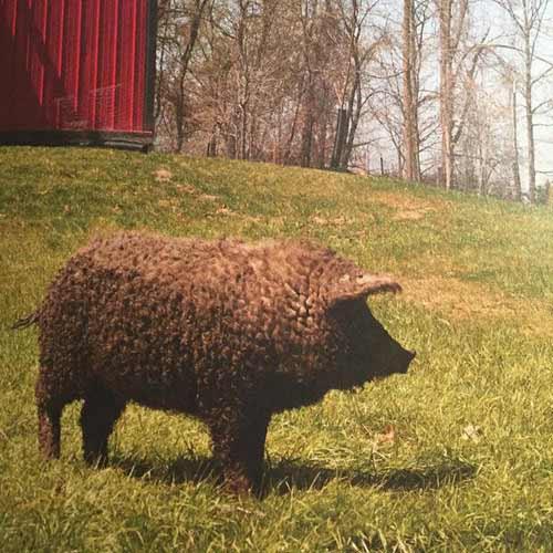Lạ kỳ loài lợn mọc lông như cừu, biết chơi đùa như chó - 5